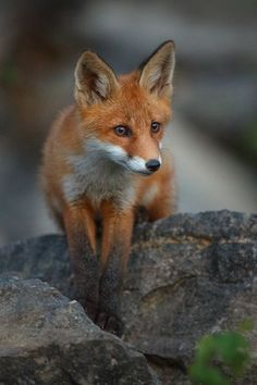 Red Fox by Urmas Kärdi - National Geographic Your Shot