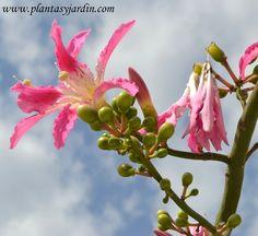 Flor de Chorisia o Ceiba speciosa, flor del Palo borracho o árbol botella