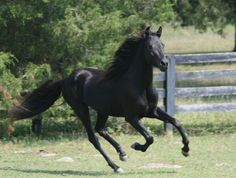 Morgan Horse Breed | Info Morgan Horses