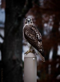 Vertical of a cute red-shouldered hawk s... | Free Photo #Freepik #freephoto #nature #blue #bird #animal White Tailed Eagle, Eagle Wallpaper, Hawk Bird, Red Tailed Hawk, Clear Blue Sky, Owl City, Birds Of Prey, Marine Life, Free Photos