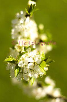 #Appelbloesem, #appel, #blossom, #green Plants, Plant, Planets