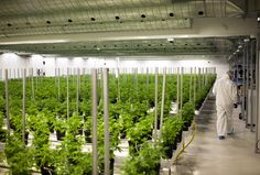 Growing Green: Weed From an ex-Chocolate Factory in Canada – Bloomberg Business | ADILAS420