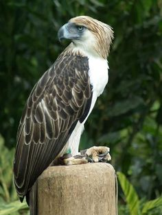 The Philippine Eagle (Pithecophaga jefferyi), also known as the Monkey-eating Eagle, is an eagle of the family Accipitridae that is endemic to forests. Love Birds, Beautiful Birds, Philippine Eagle, Paradise On Earth, Bird Drawings, Birds Of Prey, Bird Watching, Bird Feathers, Beautiful Creatures