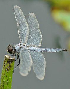 Greater Blue Skimmer (Orthetrum melania) | von John Horstman (itchydogimages, SINOBUG)