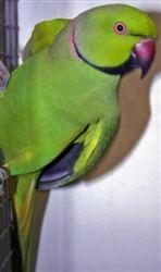 Vogelproblemen |Abesijnse halsbandparkiet