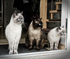 Familie Cat... Luna Luigi Lilly #bkhkitten #instacat #colorpoint #bkh #britishshorthair #bkhcat