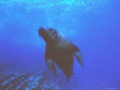 A Galapagos Sea Lion (Zalophus Californianus Wollebaeki)
