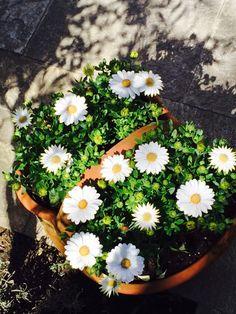 Daisies, my garden Daisies, Spring, Garden, Beautiful, Margaritas, Garten, Gardens, Daisy Flowers, Bellis Perennis