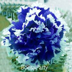 50 Pcs/Bag Petunia Petals Blue With White Side by FlowerStoriesWay