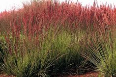 Each year at this time we are overwhelmed with all of the new plant introductions and some older introductions that we haven't tried yet. Pond Plants, Shade Plants, Garden Plants, Prairie Planting, Prairie Garden, Drought Tolerant Garden, Ornamental Grasses, Shade Garden, Lawn And Garden