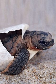 A loggerhead turtle\'s first official baby photo
