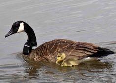 Birds   CTT  neck Collar   wildlife tracker  