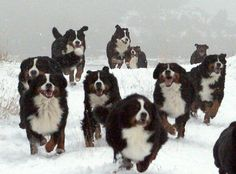 Who let the Bernese Mountain Dogs out? Bring it on.That is my kind of therapy.