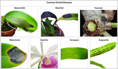There are several diseases that can affect your orchids'. Identifying the particular disease on your orchid is necessary to controlling it properly. This chart shows some of the diseases most often…