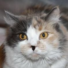 Tia is an adoptable Dilute Calico Cat in Nashua, NH. I am a fantastic older girl who has a lot of love left to give. I am looking for a family who will appreciate my sweet and gentle nature. I did not...