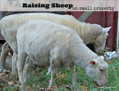 Raising a small flock of sheep can be rewarding. Fiber enthusiasts may want to raise a sheep or two for their spinning craft. Tips on handling a small flock