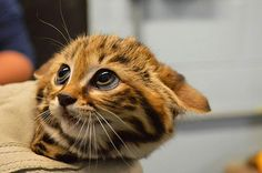 Baby Black Footed Cat credit: Philadelphia Zoo