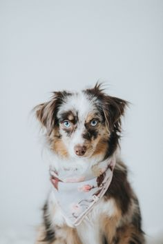 Gorgeous mini australian shepherd in her Oh Tiny Heart Luxury Dog Scarf/Bandana.