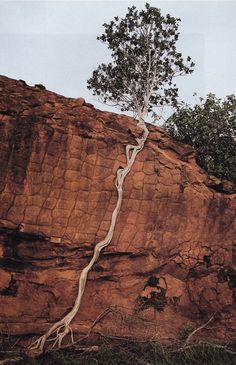 Tree sends its roots down a cliff to find the ground...