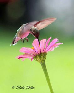 Hummer with pink glowing belly reflection off of the flower.