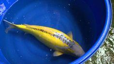 Shusui Shusui Koi, Koi Ponds, Koi Carp, Parrot, Aquarium, Gardening, Fancy, Fish, Amazing