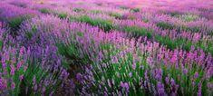 Lavender texture. | Premium Photo #Freepik #photo #flower #floral #leaf #nature Stock Foto, Lavender, Royalty Free Stock Photos, Leaves, Texture, Floral, Flowers, Plants, Cabinet