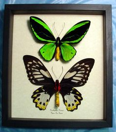 Real mounted butterfly sets would be a great tropical wall decor idea! $20- $50 each