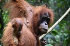 Bukit Lawang Orang Utan, Animals, Indonesia, Animales, Animaux, Animal, Animais
