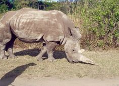 Zoo intruders killed an 11-year-old white rhino in the middle of the night — just for her horn.