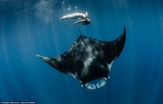 In March 2013 manta rays were listed for international protection by the Convention on International Trade in Endangered Species (CITES) Appendix 2