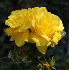 Kwiat, Róża, Żółty, Zamknij
