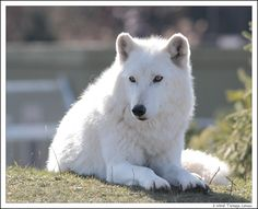 PLEASE READ THIS!!! The arctic wolf is a species of wolf that SHOULD be under ESA protection. (There are less then 200 left in the wild) But sadly, they are free to be hunted, shot, and killed as people please. Global warming is also a major threat. Arctic wolves may not be here in the next 20 years if action isnt taken NOW! Please spread the word about the Arctic Wolf and repin.