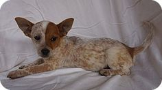 Oviedo, FL - Corgi/Australian Cattle Dog Mix. Meet Carlton, a puppy for adoption. http://www.adoptapet.com/pet/17714859-oviedo-florida-corgi-mix