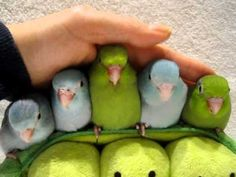 These are Baby Parrotlets; not yet mature. They will sit nicely bcuz they like to huddle together. As they grow older, each one will develop its own personality, some aggressive and some not. Please research the species before you plan on getting one if you choose to.  Posted 2/6/11