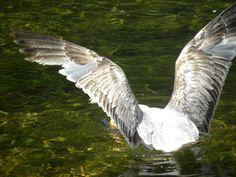 Gaviota pescando en el Río Negro-Luarca