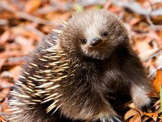 The echidna is a spiny anteater from Australia and New Guinea All About Animals, Animals And Pets, Baby Animals, Cute Animals, Strange Animals, Fauna, Animal Photography, Nature Photography, Mammals