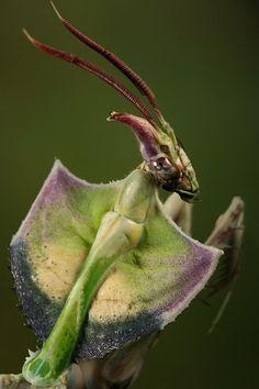 Mantis                                                                                                                                                      Mais