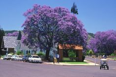 Jacaranda trees in Spring bloom. Seasons for Growth Program Herb Seeds, Garden Seeds, Flower Seeds Online, Spring Images, Purple Trees, Let It Out, Spring Blooms, Dundee, Outdoor Gardens