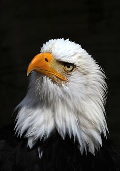 Types of Eagles - American Bald Eagle art portraits, photographs, information and just plain fun Pretty Birds, Beautiful Birds, Animals Beautiful, All Birds, Birds Of Prey, Photo Aigle, Aigle Animal, Bold Eagle, Types Of Eagles