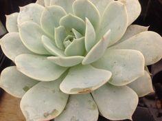 Echeveria Fleur Blanc an by SuperSucculentShop