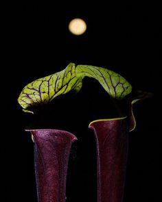 #californiacarnivores #carnivoroustagram #carnivorousplant #carnivorousplants #plantporn #pitcherplants #piantecarnivore #piantacarnivora #sarracenia #sarraceniaofinstagram #white #nature #picture #pictureoftheday #pictoftheday #sarracenia #canon #kiss #night #moon #bacio #luna #notte #canonphotography kiss under the moon. by ema.gam