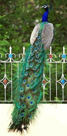 Peacock - Peafowl