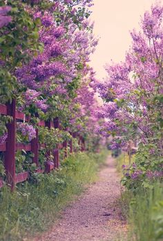 Lilacs I want to walk this road I bet it smells lovely