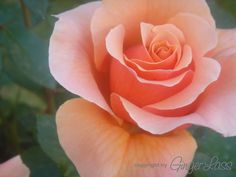 Nancy Reagan Rose - when I get more room, I'll have a President & First Lady rose garden.