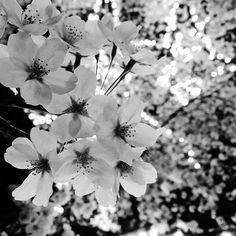 【sora_9_sora】さんのInstagramをピンしています。 《#桜#夜桜#春#モノクロ #monochrome #季節外れ#cherryblossom #love》