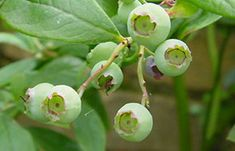 Growing excellent blueberries in containers. A BBC site, easy to read, yet very informative.  Contains a video.