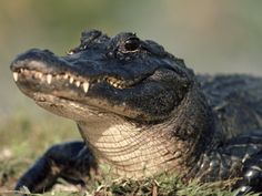 American Alligator Portrait, Florida, USA Print by Lynn M. Stone at AllPosters.com