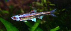 Notropis Chrosomus (Rainbow Shiner)