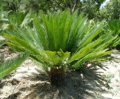 Sago palm - lots of useful info here on the Sago palm | plant care and issues