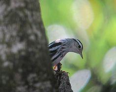 Mniotilta varia / Cebrita trepadora / Black-and-White Warbler